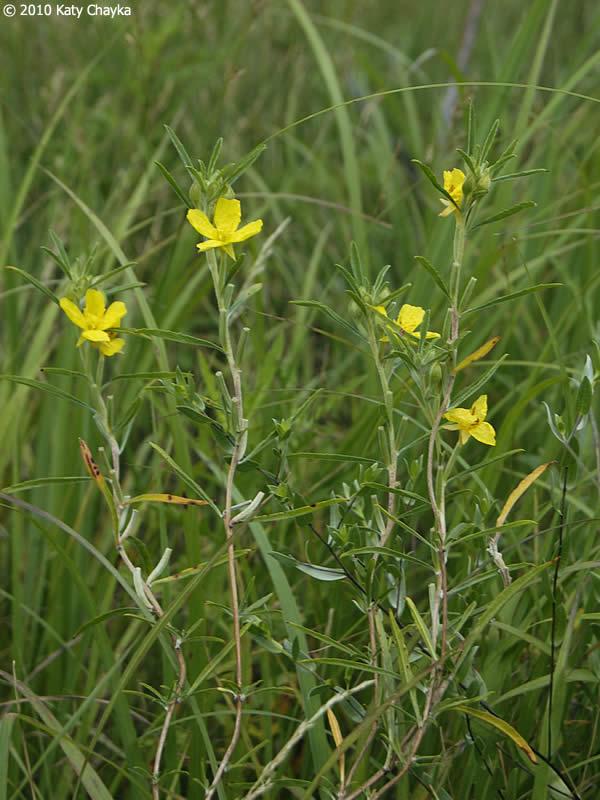 Calylophus serrulatus Yellow Sundrops Minnesota Wildflowers
