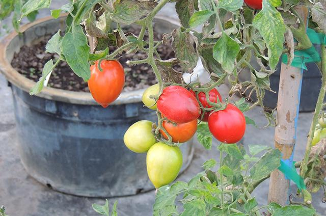 Tangletown tomatoes