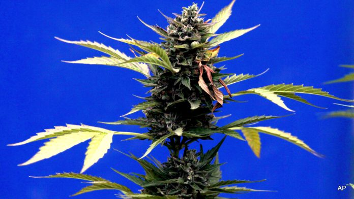 A marijuana plant stands during a press presentation of a legal medicinal marijuana harvest in the La Florida municipality of Santiago, Chile, Tuesday, April 7, 2015. Planting, selling and transporting marijuana is usually illegal in Chile and carries prison terms of up to 15 years. But the law allows medical use of marijuana with the authorization of several ministries.