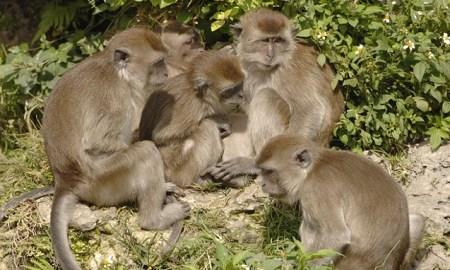 Landes macaques java