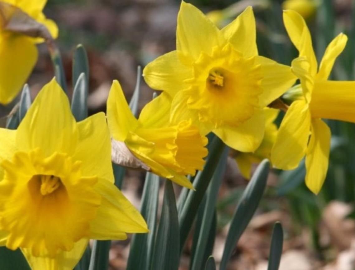 How To Grow Daffodils Miracle Gro