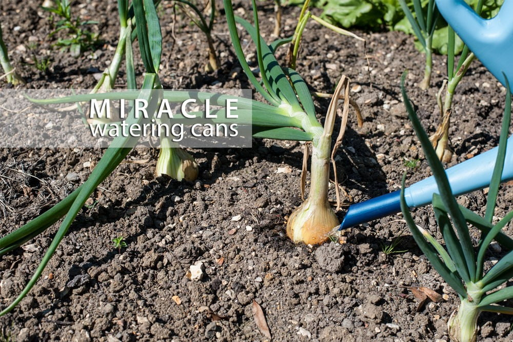 Benefits of the Miracle Watering can when watering Vegetables.