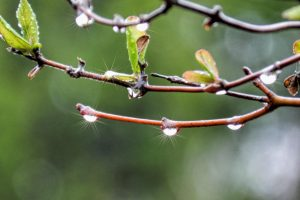 droplets on twig