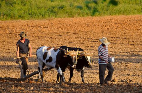 Traditional Cuban farming