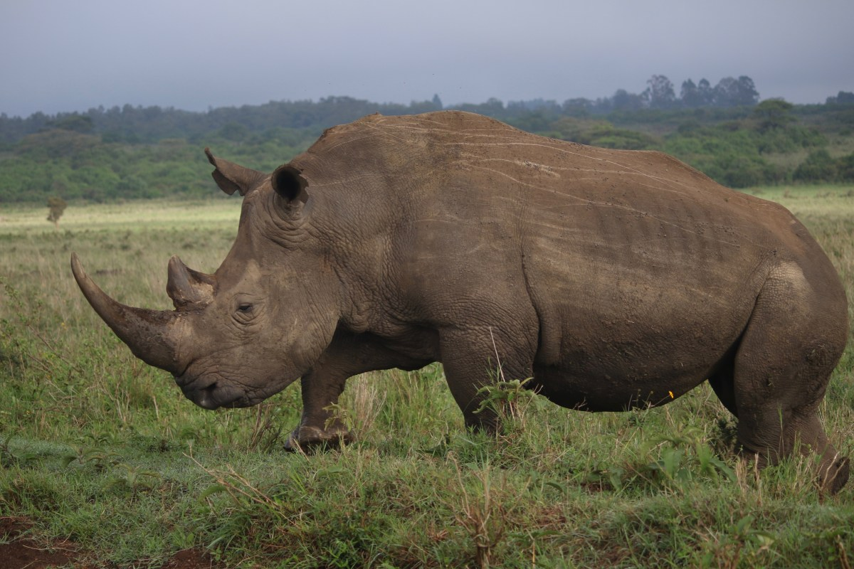 The Horn of Africa: Black Rhino conservation in Kenya and how it intersects with community interests