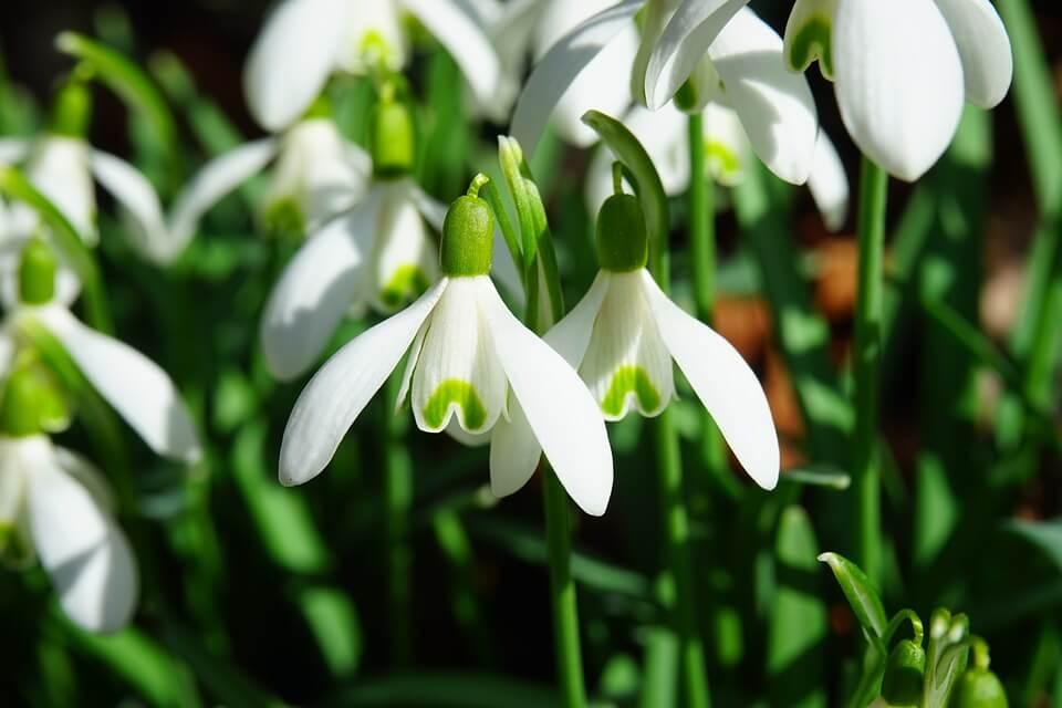 Kumice ustale protiv Vlade: Kažnjava ih se zbog prodaje visibaba te ostalog cvijeća i bilja