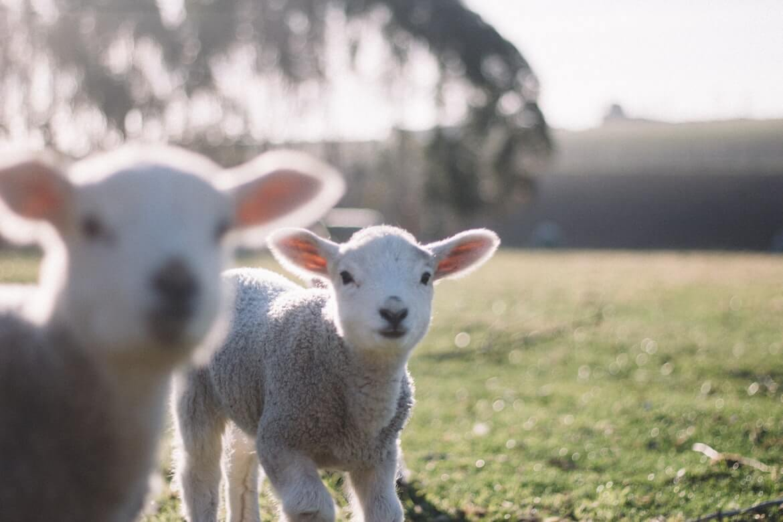 Dobri ljudi: Starijem muškarcu kojem je grom pobio stado ovaca donirali 50 mladih janjaca