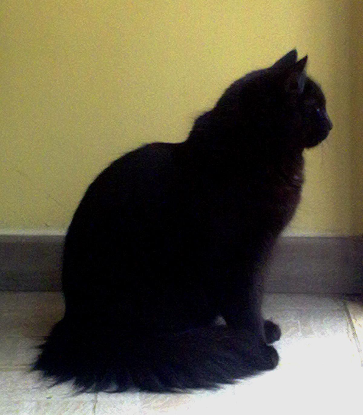 black cat -gatto nero