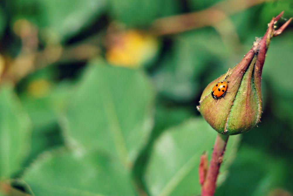 little-ladybug-bud