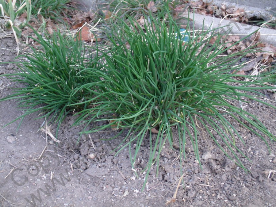 how to grow chives in a cup