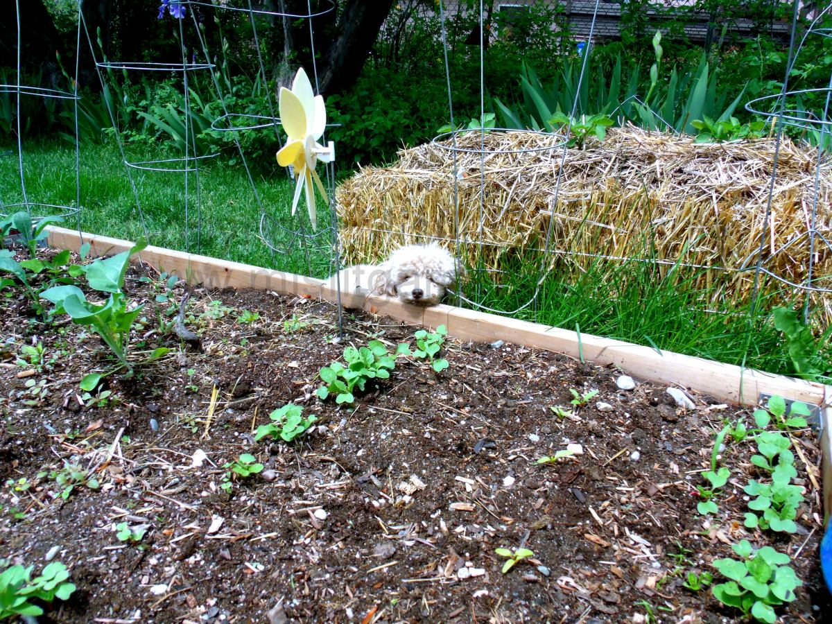 Biodynamic Garden and No-Dig Organic Garden Updates