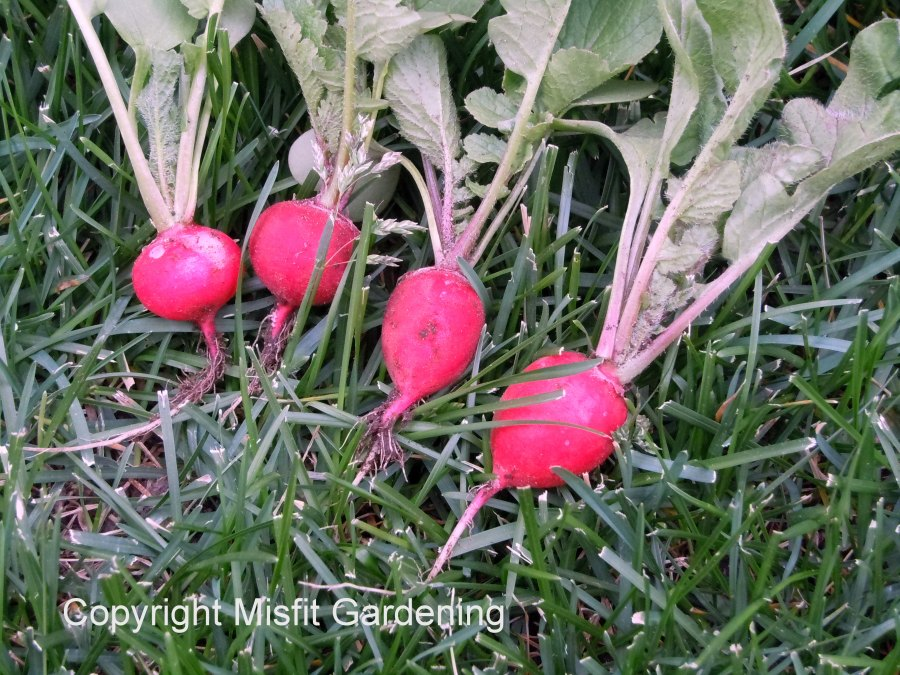 Biodynamically grown radishes