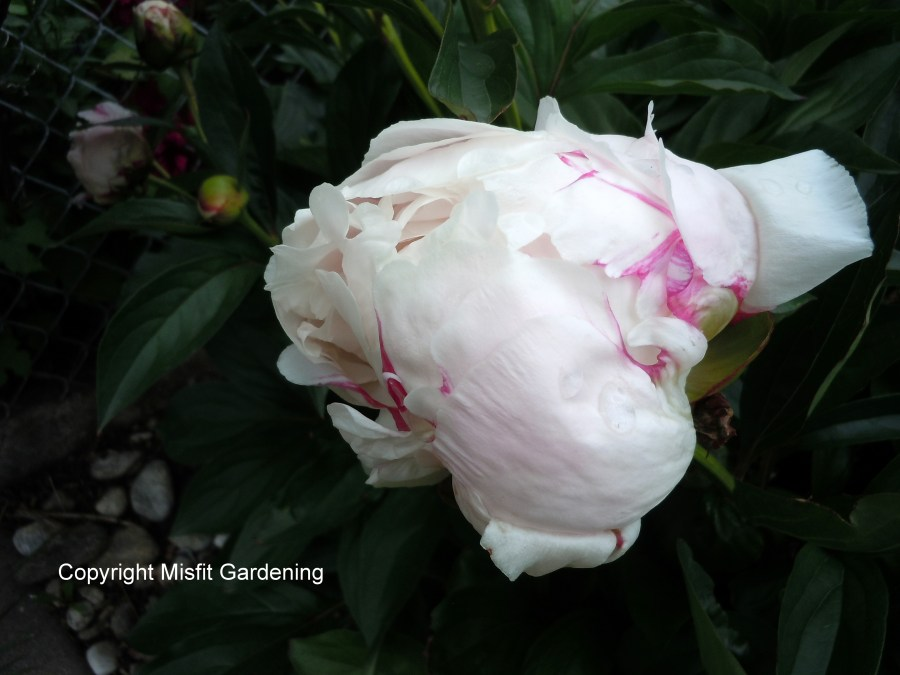 Peony about to flower