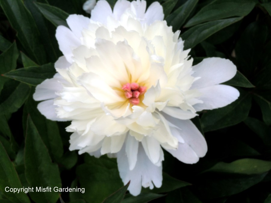 White peony which has finished flowering