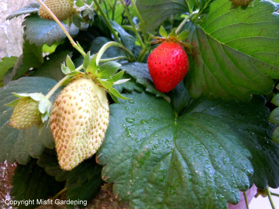 unripe and ripe strawberries