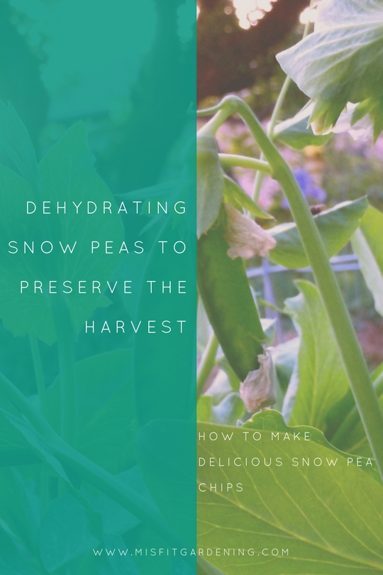 Dehydrate snow peas to make delicious snow pea chips. Click to find out how to get started or pin it to save for later.