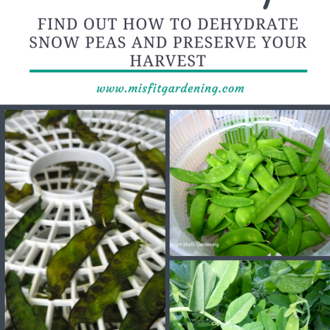 Dehydrate snow peas to make nutritious snow pea chips. Click to find out how to get started or pin it to save for later.