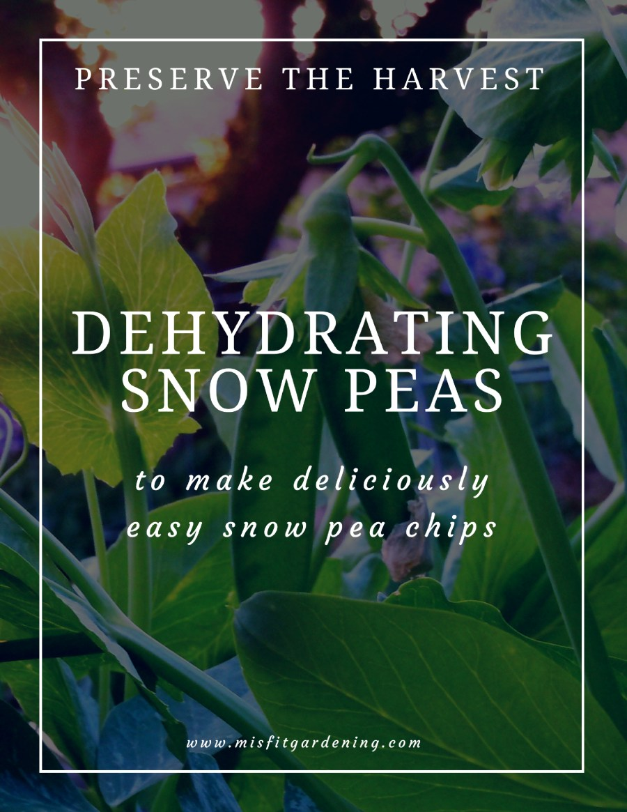 Dehydrating snow peas.  Preserve snow peas with a dehydrator to make deliciously easy snow pea chips. Click to find out how to get started or pin it to save for later.