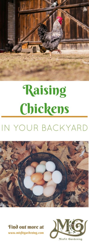 How to raise chickens in your backyard and start your homesteading journey. Click to find out how to raise chickens or pin it and save for later