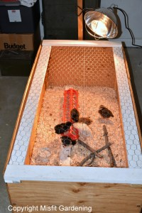 raising chickens the brood box