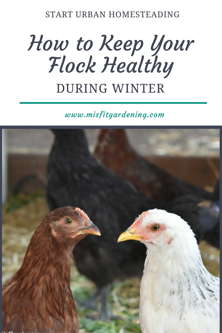 Improving Nutrition and Other Tips for Keeping Chickens Healthy in Wintertime