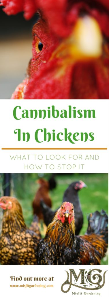 Cannibalism In Backyard Chickens - Misfit Gardening