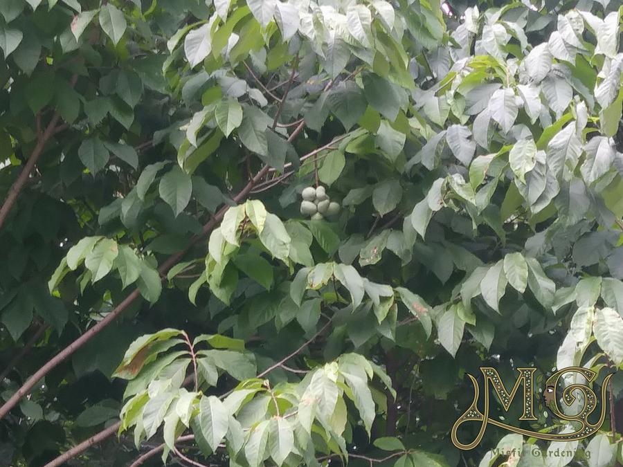 wachsende Papaya-Bäume aus Samen