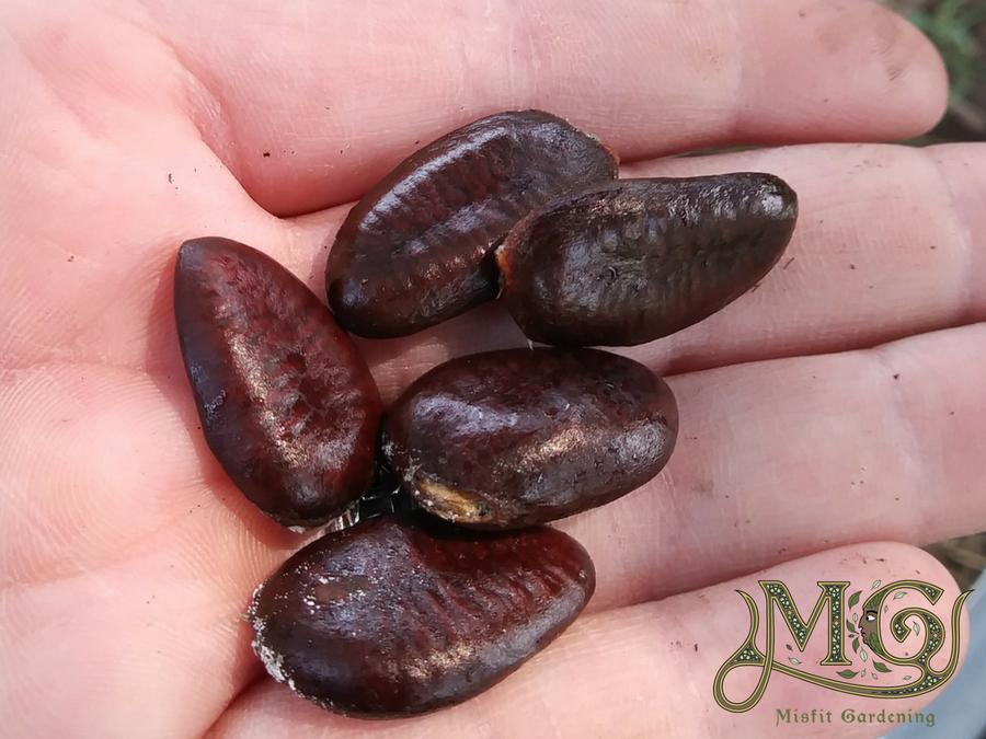 wie man pawpaw-Bäume aus Samen herstellt