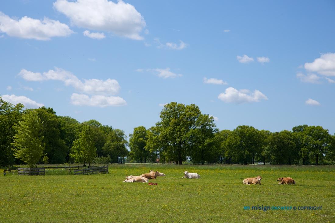 Koeien liggend op het gras in de wei met witte wolkjes