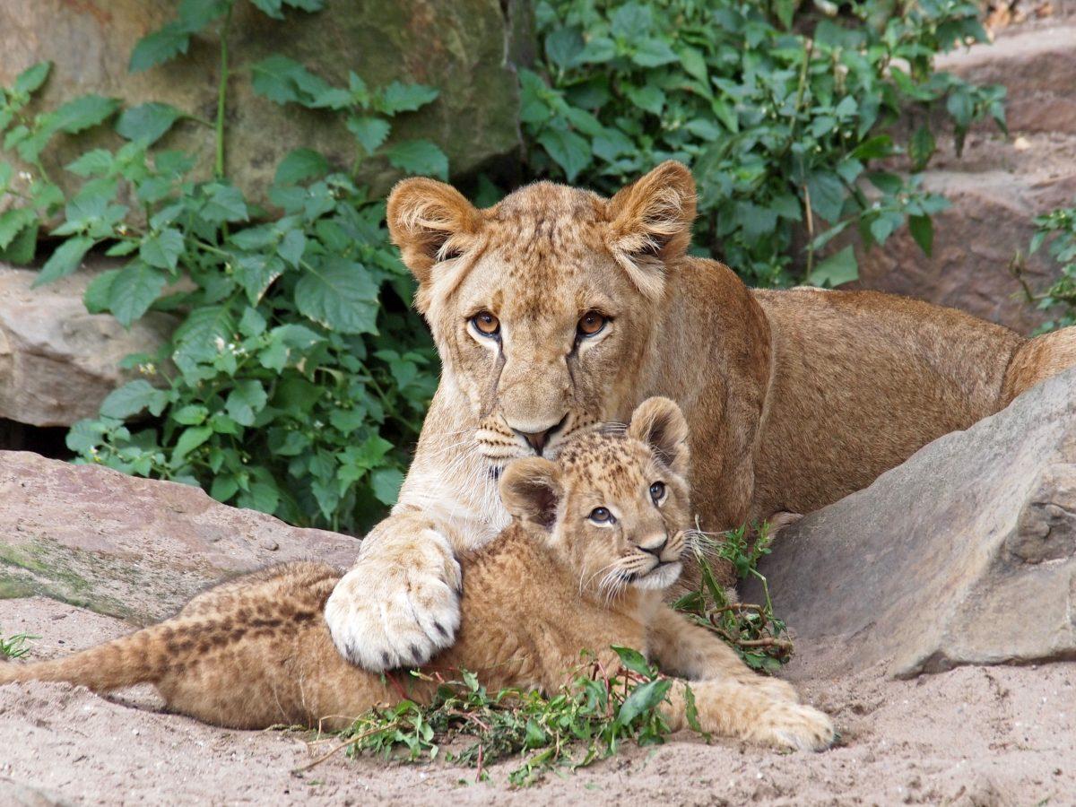 Leipziger Zoo Lowin Totet Zwei Ihrer Jungen