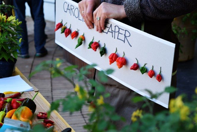 Carolina Reaper, the spiciest chili, stages of the chili fruit