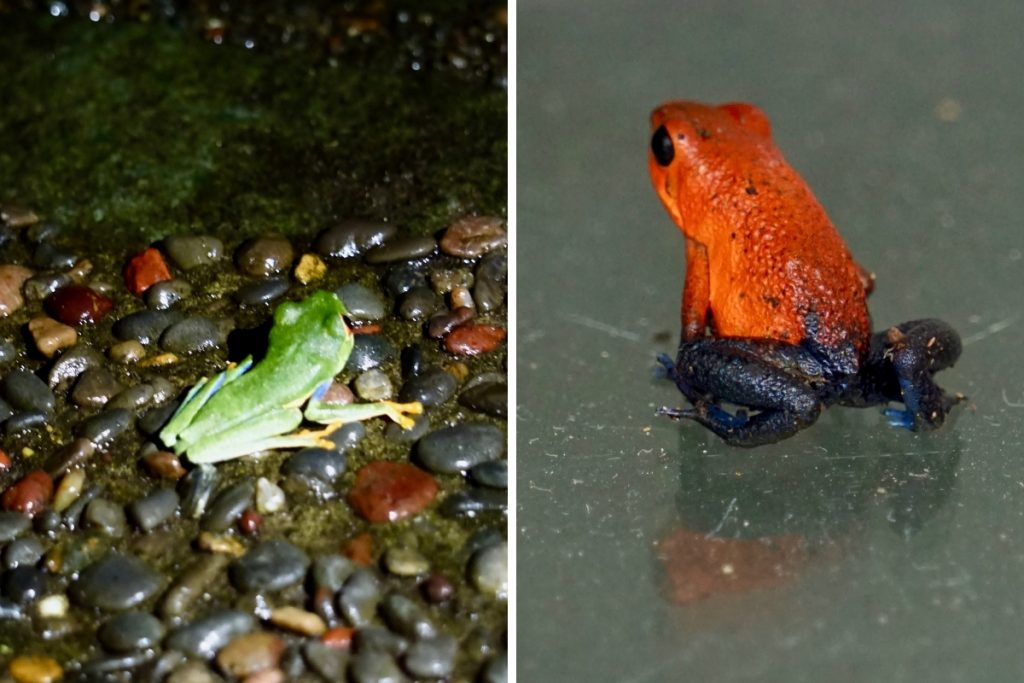 frogs in Costa Rica