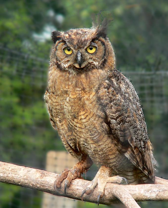 The Owl gufo