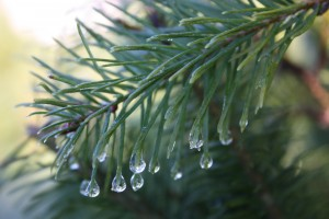 Picture of douglas fir close up, water droplets at the end of the needles