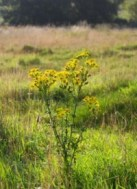 Picture of Tansy Ragwort