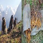 Nepal Mission Yarsa-collection-in-Nepal-1 HIMALAYAN HERB 'YARSAGUMBA/CORDYCEPS SINENSIS'