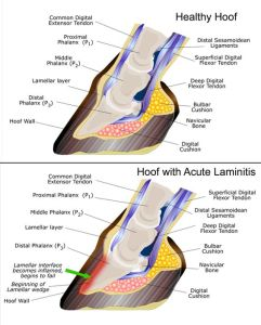 laminitis