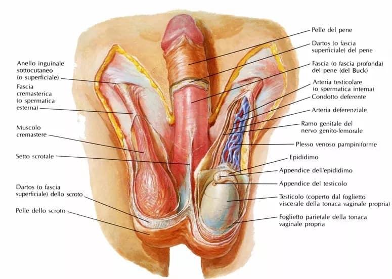 lo scroto e il muscolo cremastere