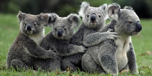 gruppo di koala coccolosi e stupidi