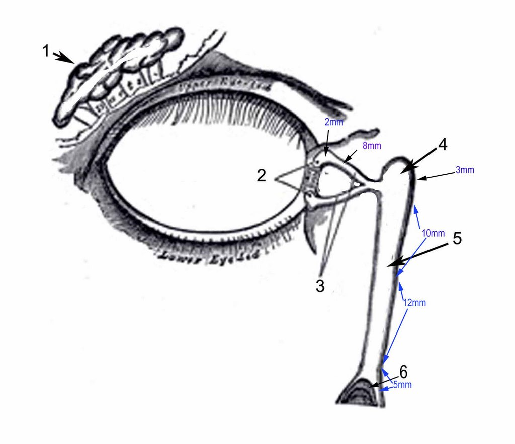 Anatomy Of The Human Eye Lacrimal Excretory System