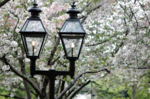 CherryBlossom-and-Lamps-by-mstroz-via-istockphoto