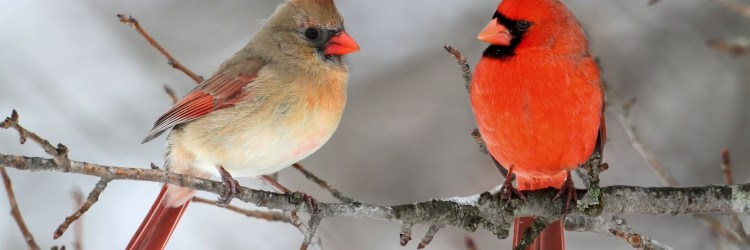 The Coming of the Cardinals