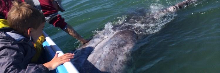 gray whale baja sur
