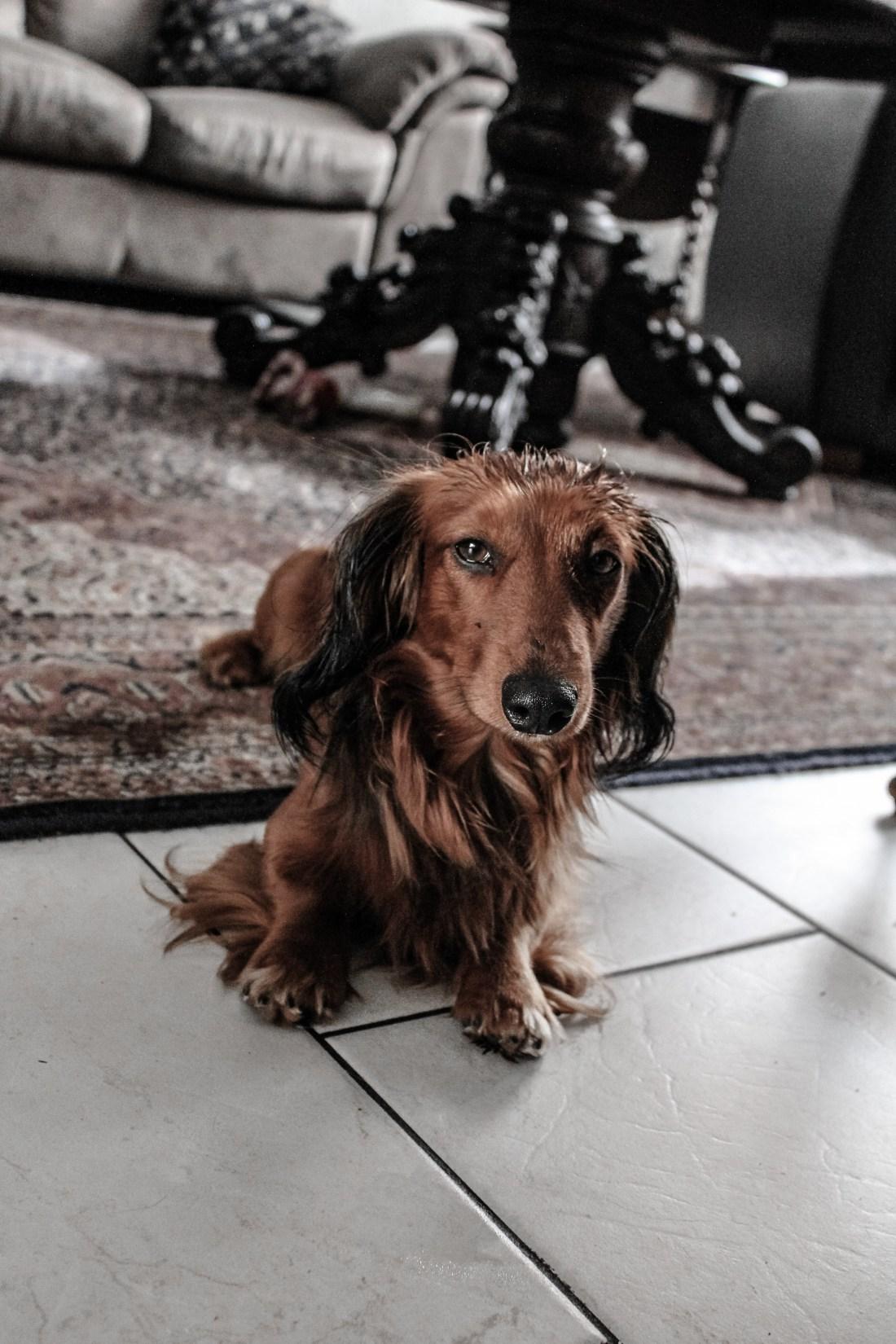 10 benefits of having a dachshund