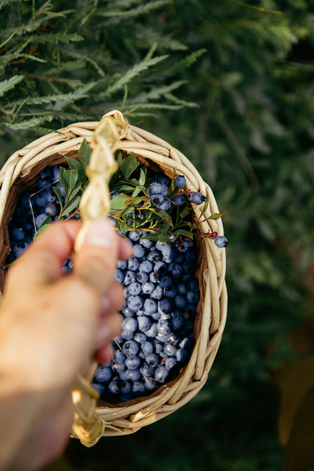 Blueberry Picking   Miss Northerner