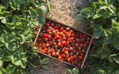 A Central Wisconsin Strawberry Farm That You'll Fall In Love With