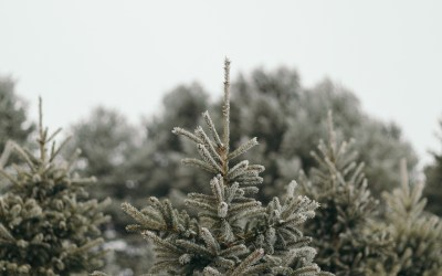 A Wisconsin Christmas Tree Farm + Tips for Picking the Perfect Tree
