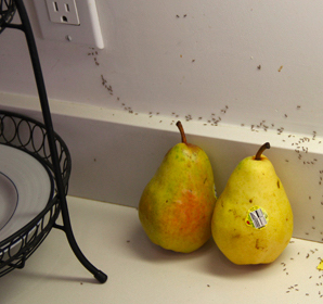 Ants in the Kitchen We Can Help  News from the