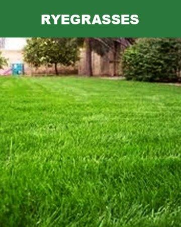 Ryegrasses