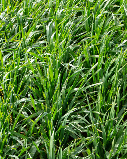 Prime Triticale for Grazing